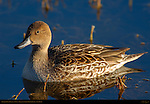 Northern Pintail Female, Close Portrait at Sunset, Bosque del Apache Wildlife Refuge New Mexico