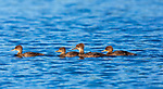 Hooded Mergansers - Hen and Ducklings