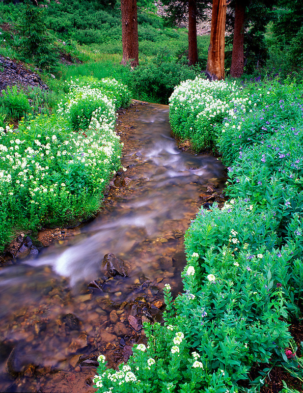 V00214M.tif   Small stream, flowers and trees in Umcompahgre National Forest, Colorado