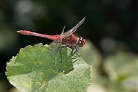 Blutrote Heidelibelle, Heidelibelle, Männchen, Sympetrum sanguineum, ruddy sympetrum, Ruddy Darter, male, Sympétrum sanguin, Heidelibellen