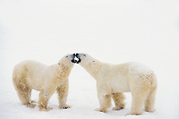 Polar bear (Ursus maritimus) jawing--two males dominance behavior.  Hudson Bay, Manitoba, November.