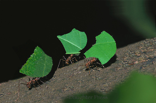 Leaf cutter ants, Atta colombica, marching with newly cut leaves, Costa Rica
