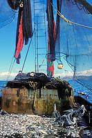 Trawl net bycatch from shrimp fishery, Sea of Cortez, Mexico