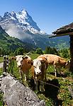 CHE, Schweiz, Kanton Bern, Berner Oberland, Grindelwald: Kuehe auf Alm oberhalb von Grindelwald vorm Eiger | CHE, Switzerland, Bern Canton, Bernese Oberland, Grindelwald: cattle above Grindelwald with Eiger north face