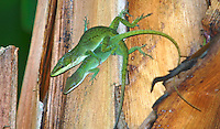 a pair of green anoles mate, Daytona Beach, FL . (Photo by Brian Cleary / www.bcpix.com)