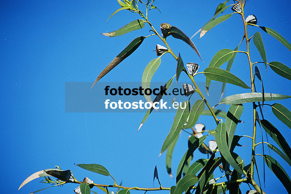 Eucalyptus leaves and fruits against blue sky<br /> <br /> Eucalypto hojas y fruits contra cielo azul<br /> <br /> Eukalyptusblätter und Eukaluyptusfrüchte gegen blauen Himmel<br /> <br /> 3360 x 2240 px<br /> Original: 35 mm