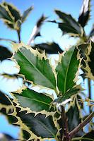 Ilex aquifolium 'Elegantissima'