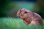 """Oh no!  A hare looks shocked as it holds a paw up to it's mouth in the Evenlode Valley, within the Cotswolds, Gloucestershire.<br /> <br /> With these brown hares being Britain's quickest land mammals, reaching speeds of up to 45 mph this one was actually cleaning it's paws, but events manager Richard Ellis, 52, managed to picture it at exactly the right moment to create this comical pose.<br /> <br /> Mr Ellis said """"Hares always keep their shoes clean so to speak.  This one was cleaning its paws, as they need the best grip for a quick get away."""" <br /> <br /> """"To me it looks like the hare has suddenly remembered it's forgotten something - like when you've forgotten your mask on the way to the shops!""""<br /> <br /> Please byline: Richard Ellis/Solent News<br /> <br /> © Richard Ellis/Solent News & Photo Agency<br /> UK +44 (0) 2380 458800"""