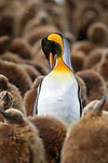 Adult king penguin (Aptenodytes patagonicus) preening surrounded by immature chicks. Salisbury Plain, South Georgia, South Atlantic.