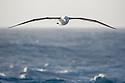 Black-browed Albatross (Thalassarche melanophris) near to South Georgia, South Atlantic Ocean. November.
