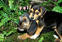 Beagle and schnauzer puppies playing in the shade garden