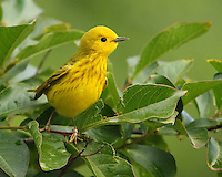 Life can be dangerous for a small bird. Yellow Warblers have occasionally been found caught in the strands of an orb weaver spider's web.