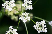 Wiesen-Kerbel, Wiesenkerbel, Einzelblüten, Anthriscus sylvestris, wild chervil, wild beaked parsley, keck, Queen Anne's lace