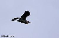 0125-08yy  Flying Reddish Egret Dark Morph, Egretta rufescens  © David Kuhn/Dwight Kuhn Photography