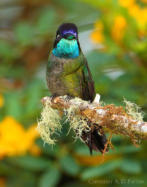Male Talamanca (magnificent) hummingbird