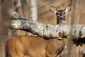 00275-194.20 White-tailed Deer (DIGITAL) doe stares from behind downed birch tree in hardwood forest.  Hunting, fall.  H8R1