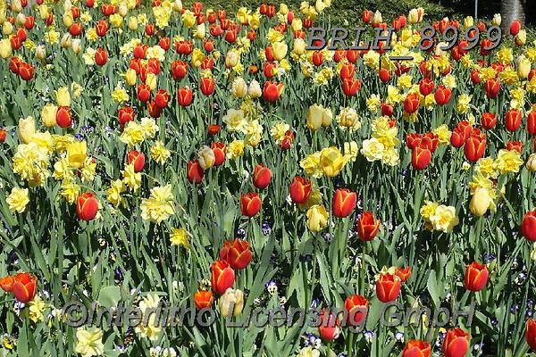 Luiz, FLOWERS, BLUMEN, FLORES, photos+++++,BRLH8999,#f#, EVERYDAY ,tulips ,allover