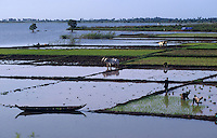 CAMBODIA, rice farming at Mekong river after Monsoon and submergence / KAMBODSCHA Reisanbau am Mekong nach Monsun Regen und Überschwemmung