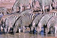 Zebras (Equus quagga) op drinkplaats, Etosha