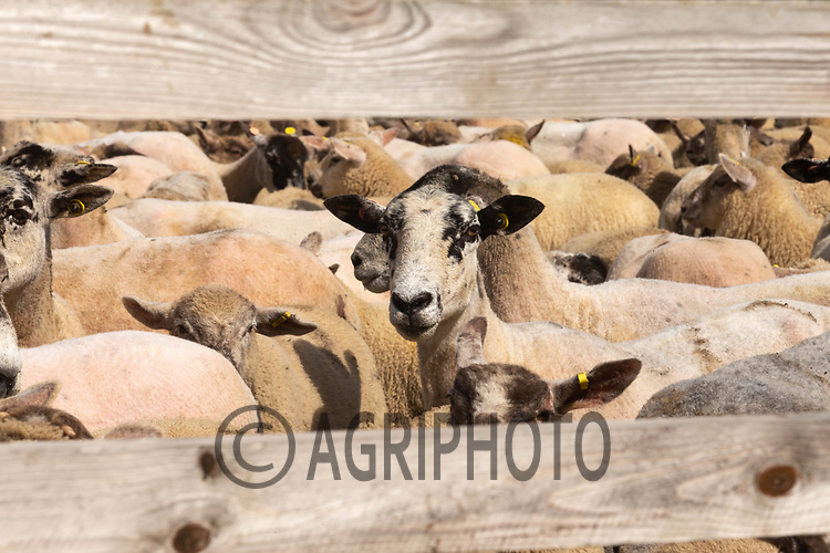 24-5-2021 Ewes and lambs in a holding pen <br /> ©Tim Scrivener Photographer 07850 303986<br />      ....Covering Agriculture In The UK....
