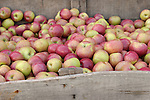 Large container of MacKintosh apples, Zacherl's Farm Market, Route 23