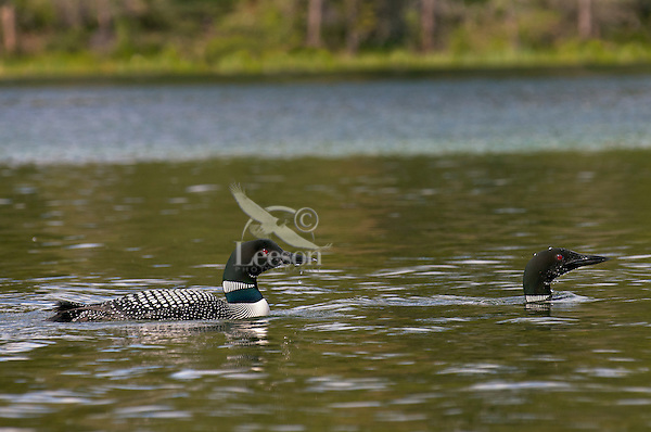 Common Loons (Gavia immer).  Northern North America, Summer.  Sometimes also called Great Northern Loon or Diver.