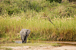 African Elephant (Loxodonta africana) female crossing river, Kruger National Park, South Africa