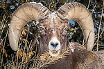 USA, Wyoming, Yellowstone National Park, bighorn sheep (Ovis canadensis)