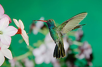 Broad-billed Hummingbird, Cynanthus latirostris, male in flight feeding on Nicotiana(Nicotiana ssp.), Madera Canyon, Arizona, USA, May 2005