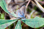 karner blue butterfly femaile resting on wild lupine, concord, new hampshire