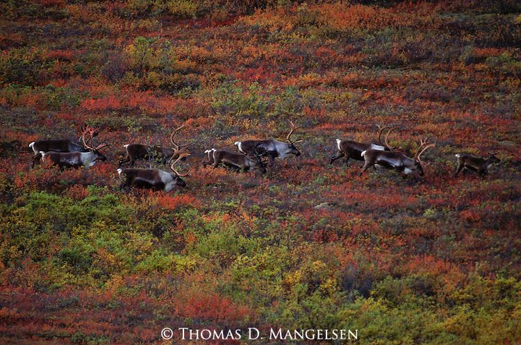 A herd of caribou migrate across the Alaskan tundra in Denali National Park, Alaska.