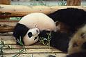 Female giant panda cub Saihin