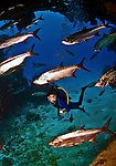 8 August 2010: SCUBA Diver Sally Herschorn dives amongst a school of Tarpon (Megalops atlanticus) at Turtle Reef on Grand Cayman Island in the British West Indies. The Cayman Islands are renowned for their excellent scuba diving. Model Release on file. Mandatory Credit: Ed Wolfstein Photo