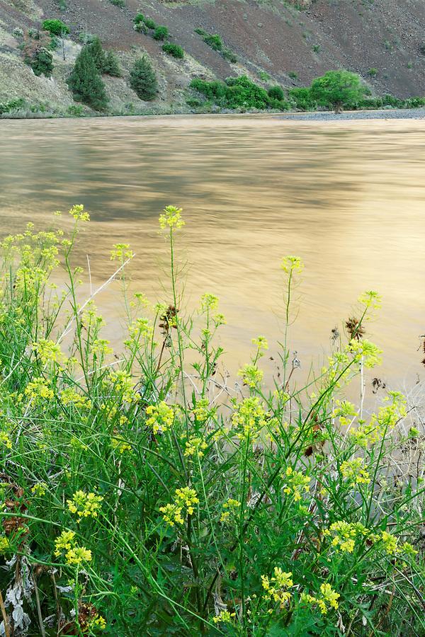 Field mustard (Brassica rapa) blooming along bank of John Day River flowing through desert canyon, north central Oregon, Oregon, USA