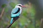 Woodland Kingfisher (Halcyon senegalensis). Tarangire National Park, Tanzania.