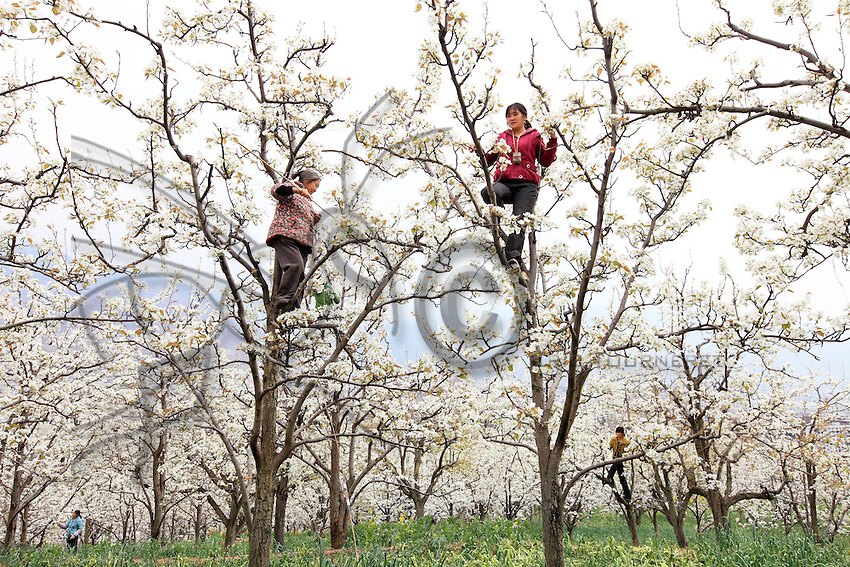 Dans les vergers, les femmes travaillent en équipes, ou alors les paysans travaillent en couple.///In the orchards, the women work in teams or the farmers work as a couple.