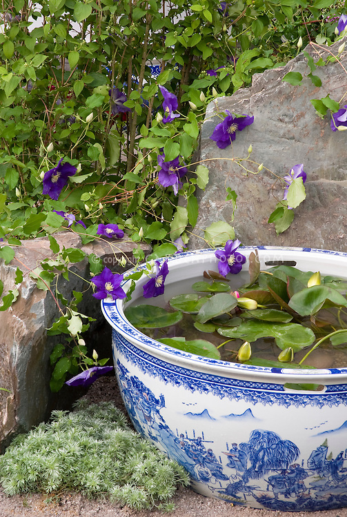 Tiny water garden pot container in blue and white Oriental style Wedgewood color theme pattern bowl, with Clematis vine x jackmanii in purple flowers against rock boulder stones
