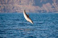 Atlantic spotted dolphin, Stenella frontalis, calf, leaping, La Gomera, Canary Islands, Spain, Atlantic Ocean