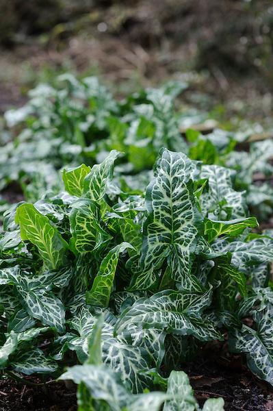 Arum italicum (Lord & Ladies)