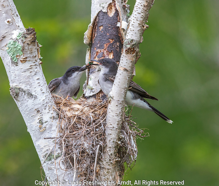Eastern kingbirds tearing apart a dragonfly for their chicks.