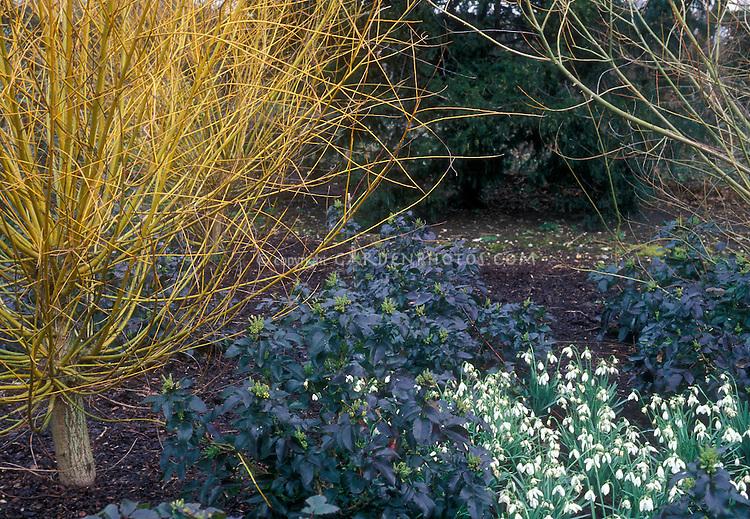 Mahonia Apollo, Galanthus, Salix alba 'Vitellina', Anglesey Abbey in winter