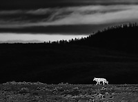 The alpha female of the Wapiti Lake Pack shone brightly as the sun rose above clouds in Hayden Valley one morning.