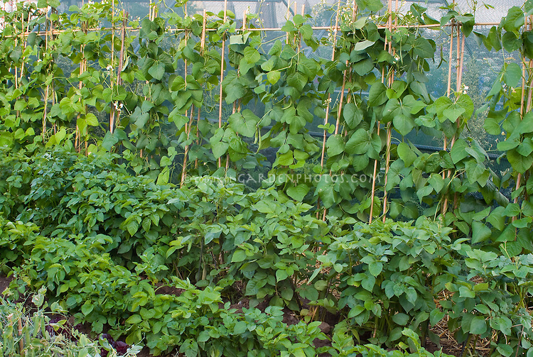 Beans climbing on trellis stakes poles and potatoes plants growing in vegetable garden together