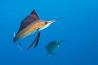Atlantic Sailfishes, Istiophorus albicans, Islamorada, Florida Keys, Florida, USA, Atlantic