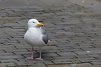 Pictured: A seagull in Oxford Street. Friday 19 March 2021<br /> Re: City centre of Swansea, Wales, UK.