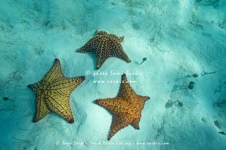 Three different starfishes on sandy seabed, Saona Island, Dominican Republic
