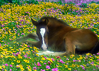 Foal lying in field of wildflowers.