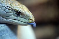 A Western blu-tongued lizard (Tiliqua occipitalis) in Beijing Zoo. 2013