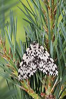 Nonne, Nonnenspinner, Nonnen-Spinner, Weibchen, Lymantria monacha, black arches, nun moth, female, la Nonne, Noctuidae, Eulenfalter, Lymantriinae, Trägspinner, Schadspinner
