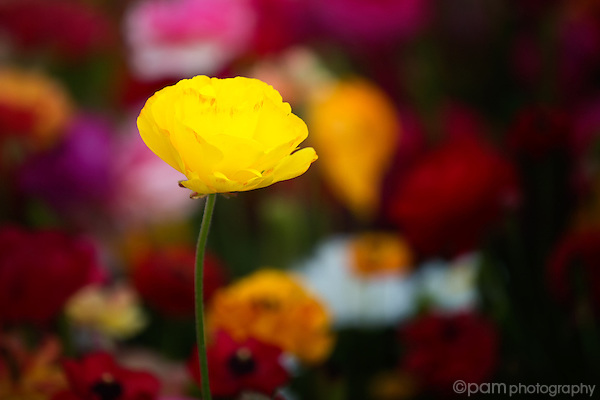 Yellow Ranunculus flower against colorful background of flowers